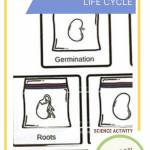 Life Cycle of a Seed