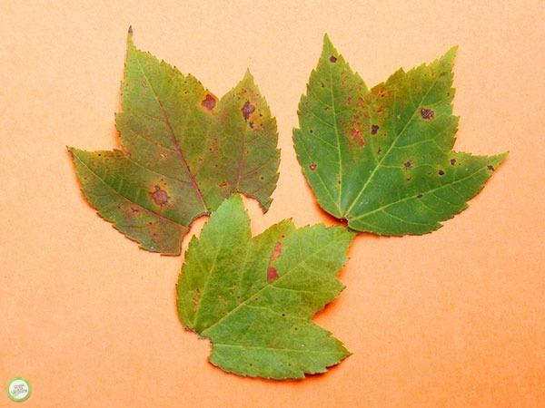 leaf experiment