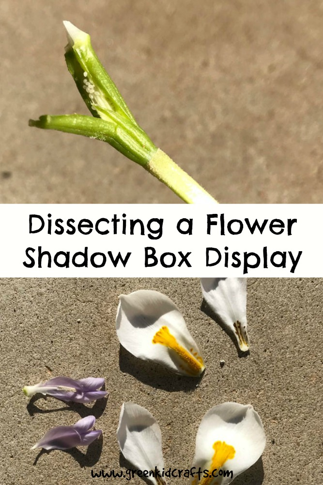 Dissect a flower for a specimen box display. Kids science experiment. #stem #botany #scienceprojects